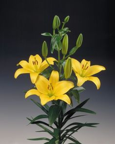 Varieties | Lily Occasions