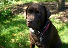 """Labrador retrievers, or """"Labs"""" as they've become fondly known, are one of the most popular dog breeds of our time. Generally known and loved for their cheerful Labrador Puppies For Sale, Rescue Puppies, Dogs And Puppies, Best Cheap Dog Food, Best Dog Food, Springer Spaniel, Beagle, Golden Puppy, Most Popular Dog Breeds"""