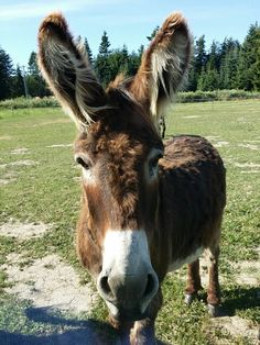 Oboe the rescue donkey