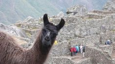 Photo bomber lama in Machu Picchu, Peru Funny Animal Pictures, Funny Photos, Funny Animals, Cute Animals, Wild Animals, Farm Animals, Alpacas, Dump A Day, Funny Love