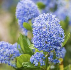 Ceanothus is a large genus of shrubs in the buckhorn family. Ceanothus varieties are North American native plants, versatile and beautiful. To learn more about growing one of these plants, the information in this article should help.