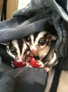 Sugar Gliders are cute and small, but not allowed.