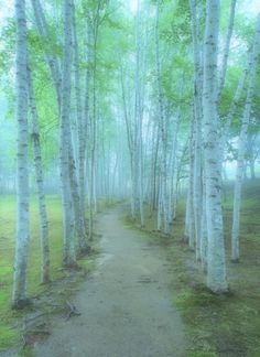 white birch trees at Biei, Hokkaido, Japan 美瑛 北海道...and it looks just like our birch copse at the Cottage.
