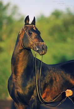 Akhal Teke horse - Murgab