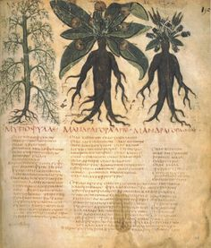 Mandrake root ancient reference bookby Naples Dioscurides (early 7th-century Greek herbal )