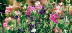 Popínavé rastliny do hrantíka
