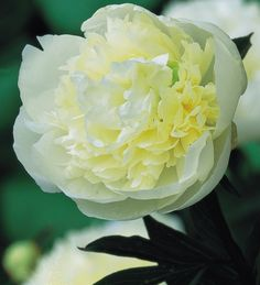 This is everyone's favourite peony, with ivory white flowers and the sensational scent of Lily of the Valley.
