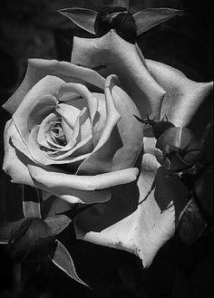 Beautiful Flowers Wallpapers, Beautiful Flowers Garden, Beautiful Roses, Black And White Roses, Grey Roses, Rose Tattoos, Flower Tattoos, Rose Reference, Amazing Dp