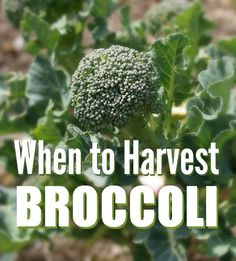 """Broccoli and cauliflower are two vegetables that I find incredibly difficult to harvest. It's not actually the """"harvesting"""" part that is difficult, a sharp knife will do the trick, it's the """"when"""" Growing Broccoli, Growing Veggies, Organic Gardening, Gardening Tips, Homestead Gardens, Grow Your Own Food, Edible Garden, Fruits And Veggies, Gardens"""