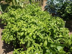 Natural Lifestyle, See Photo, Basil, Acre, Physics, Pots, Home And Garden, Herbs, Organic