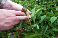 Planting & Care of Peonies