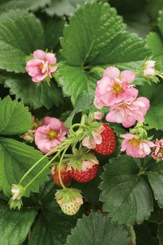 Proven Winners - Berried Treasure® Pink - Strawberry - Fragaria ananassa pink pink with occasional white flowers plant details, information and resources. Strawberry Pictures, Strawberry Flower, Strawberry Garden, Strawberry Patch, Strawberry Plants, Fruit Plants, Strawberry Fields, Fruit Trees, Everbearing Strawberries