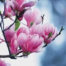 Magnolienblüte - Frühling