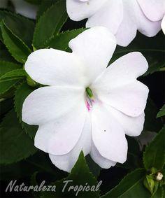 Flor característica de la planta Alegría o Madama, Impatiens walleriana