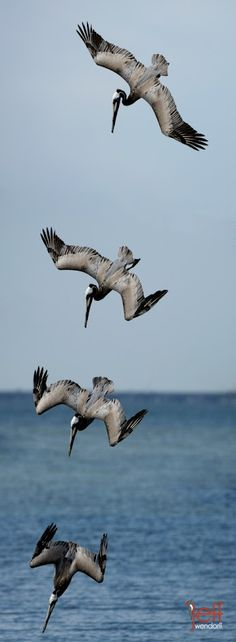 A montage made from 4 diving pelican images