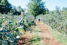 Blueberry Fields in Michigan