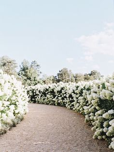 The Champagne Diaries Lush, Image Nature, Hydrangea Care, Limelight Hydrangea, Wine Country, Garden Landscaping, Hydrangea Landscaping, Farmhouse Landscaping, Driveway Landscaping