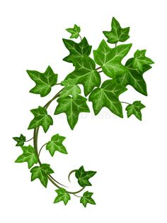 Illustration about Vector green ivy branch isolated on a white background. Illustration of leaves, garden, illustration - 55305718 Vine Drawing, Leaf Drawing, Plant Drawing, Plant Illustration, Botanical Illustration, Poison Ivy Tattoo, Poison Ivy Plants, Ivy Flower, Flowers