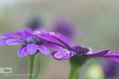 Purple by menchubarbeito. Please Like http://fb.me/go4photos and Follow @go4fotos Thank You. :-)