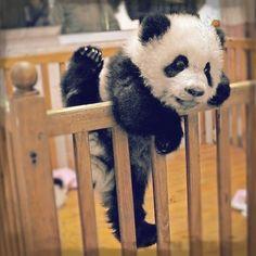 Escapade  #babypanda