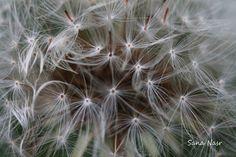 photos macro pisse en lit Dandelion, Flowers, Plants, Photos, Pictures, Photographs, Flora, Royal Icing Flowers, Dandelions