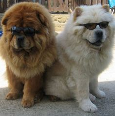 This is one very cool pair. They look awesome in their shades! #ChowChow