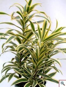 Pleomele Reflexa houseplant