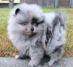 Just had to add this precious grey colored Pomeranian.  So, so cute.