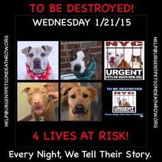 TO BE DESTROYED: 4 beautiful dogs to be euthanized by NYC ACC- WED. 01/21/15. This is a VERY HIGH KILL shelter group. YOU may be the only hope for these pups! ****PLEASE SHARE EVERYWHERE!!!To rescue a Death Row Dog, Please read this: http://urgentpetsondeathrow.org/must-read/  To view the full album, please click here:  https://www.facebook.com/media/set/?set=a.611290788883804.1073741851.152876678058553&type=3