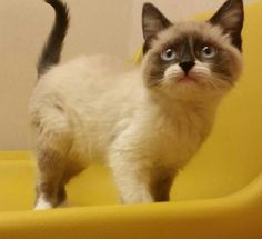 Sunshine is an adoptable Snowshoe, Siamese Cat in Livonia, MI Sunshine is a friendly, playful, 14 week old Snowshoe kitten looking for her forever, 100% indo ... ...Read more about me on @petfinder.com