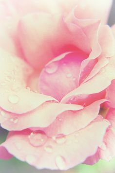 Nature Photograph: Softened Rose Wall Décor, Canvas Wraps, Limited Edition Fine Art Prints and downloads are available. www.pipafineart.com