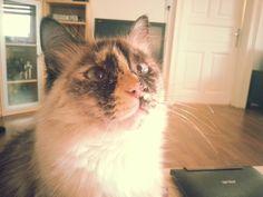 Maxima <3 Angel, Cats, Animals, Gatos, Animales, Animaux, Animal, Cat, Animais