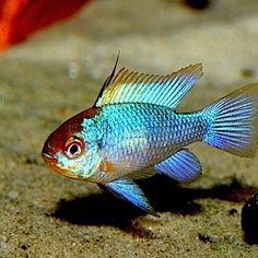 Electric Blue Rams (Price Lowered)