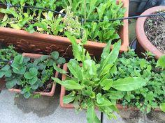 Sauerampfer, Erdbeeren und Co.  im April 2016 Plants, Strawberries, Healthy, Flora, Plant, Planting