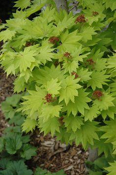 . The Acer japonicum