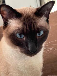 Siamese Dream, Siamese Cats, Beautiful Cats, Animals Beautiful, Cute Animals, Pet Dogs, Dog Cat, Pets, Foto Jimin