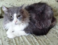 Tootsie  is a 9 year old maincoon mix. She is sassy but sweet. Children over 10 she is ok with and good with dogs and other cats.