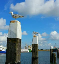 Seagull on the harbour of Oudeschild on Texel.