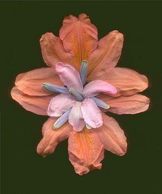 Azalea camasia