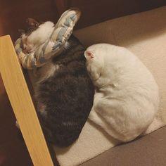 ハッチャンに…ぴとっ♡ あれもしたい!これもしたい!もっとしたいもっともっとしたい〜♪ なのに時間が、あっ!と言う間に過ぎてまう…。 そしてすぐに眠くなる…。この子らから何か眠くなる成分でも出とるんやろか?ってくらいに、つられて寝てまいそになる…てかぜったいこのまま寝そう…私 #八おこめ #ねこ部 #cat #ねこ