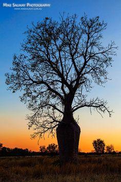 Boab Tree in the Kimberly region W.A.