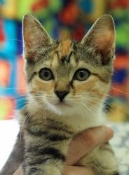 (864) 942-8775  Soprano is an adoptable Domestic Short Hair Cat in Greenwood, SC. Visit Soprano at our Adoption Center located at 235 Wilbanks Circle in Greenwood, SC. We are open daily 10am-5pm, closed Sunday. You...