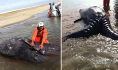 Conjoined whale calves found dead in Mexican lagoon in world's first documented case of Siamese gray whales.. wow~