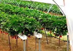 There is a great difference between the crops grown as starter plants and the greenhouse vegetables. Vegetable Garden For Beginners, Gardening For Beginners, Gardening Tips, Kitchen Gardening, Gardening Quotes, Kill Weeds Naturally, Greenhouse Vegetables, Gardening Vegetables, Water From Air