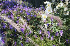 Anemone'Honorine jobert', Geranium 'Rozanne', Pennisetum orientale door Sébastien Decock | Landschaps- en tuinarchitect | Stasegem TH