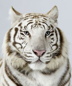 Narayana, a three-year-old male royal white Bengal tiger. Photograph: Barry Bland / Barcroft Media. °