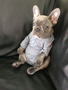 OMG He's in a onesie. French Bulldog Puppy.