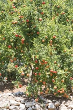 Pomegranate Tree Pruning – Learn About The Cutting Of Pomegranates