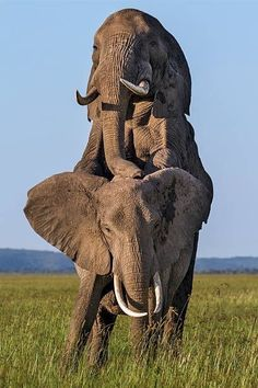 Wild and majestic as they ought to be elephant wildlife Elephant Pictures, Elephants Photos, Animal Pictures, All About Elephants, Save The Elephants, Animals Of The World, Animals And Pets, Cute Animals, Majestic Animals