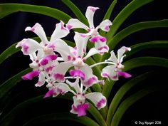 Image result for Vanda luzonica Orchidaceae, Wild Orchid, Exotic Beauties, Companion Planting, Flower Pots, Flower Ideas, Amazing Flowers, Air Plants, Purple Flowers